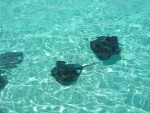 Some rays at stingray city.jpg